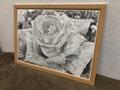 鉛筆画「Rose blance」